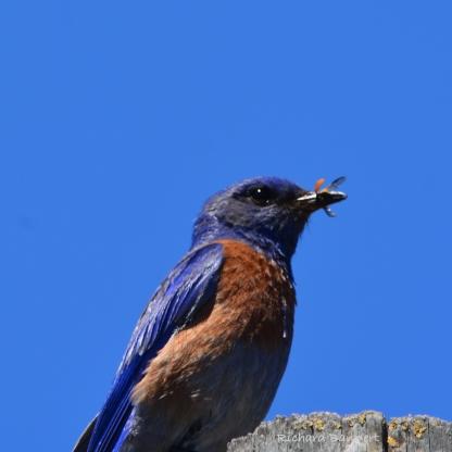 Western Bluebird with bug