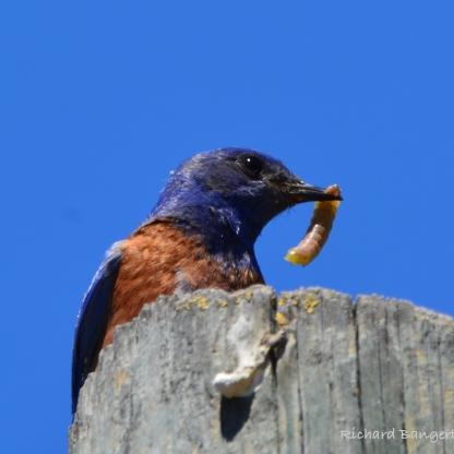 Western Bluebird with caterpillar