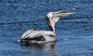 Pelican feeding in Seaplane Lagoon