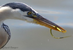 Great Blue Heron with pipefish (watermarked)