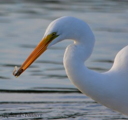 Great Egret – Version 2
